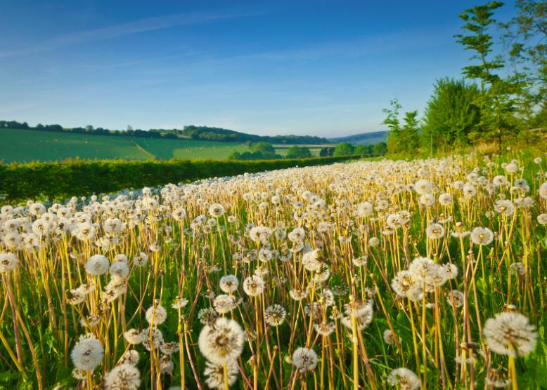 Le pollen libéré par certaines plantes est à l'origine des allergies